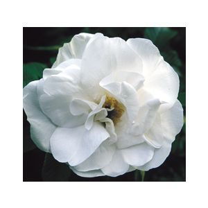 Rosa 'Blanc Double de Coubert (R. rugosa)