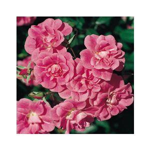 Rosa 'China Doll'