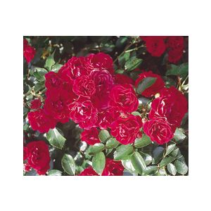 "Rosa 'Fire Meidiland' 60"" Patio Tree"