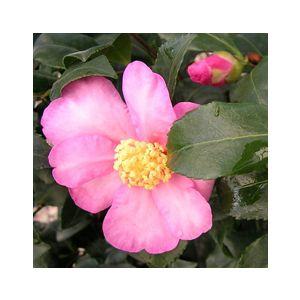 Camellia sasanqua 'Cleopatra' Espalier