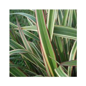 Phormium cookianum hookeri 'Tricolor'
