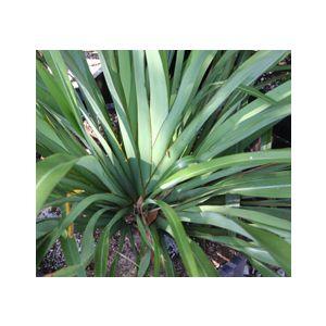 Phormium cookianum (P. colensoi)