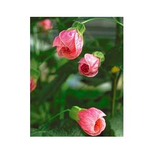 Abutilon hybrid 'Pink' Patio Tree - Monrovia