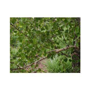 Betula jacquemontii Multi (B. utilis j.)