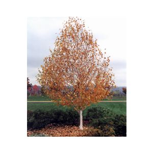 Betula jacquemontii Standard (B. utilis j.)