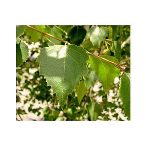 Betula pendula Standard (B. alba)