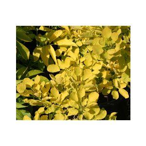 Cotinus coggygria 'Golden Spirit' ('Ancot')