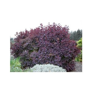 Cotinus coggygria 'Royal Purple' Multi