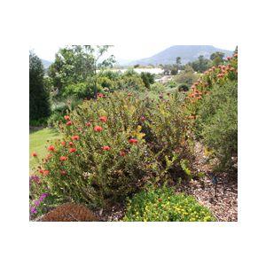 Leucospermum cordifolium 'Flame Spike' (L. nutans)