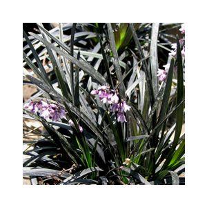 Ophiopogon planiscapus 'Nigrescens' ('Arabicus')