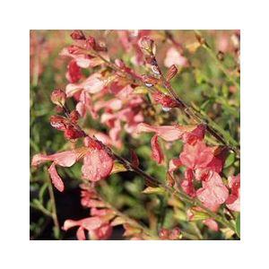 Salvia greggii 'Salmon'