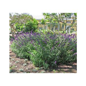 Salvia leucantha 'Midnight' ('Purple Velvet')