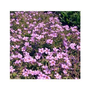 Sutera cordata 'Lavender'