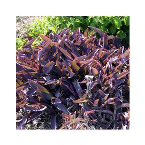 Tradescantia pallida 'Purple Heart' (Setcreasea p.)('Purpurea')