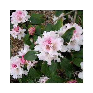 Rhododendron 'Assorted Varieties'