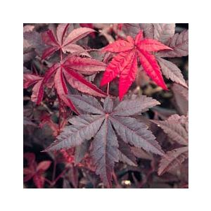 Acer palmatum 'Emperor 1' ('Wolff')