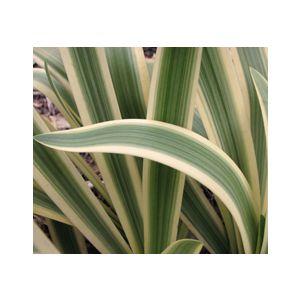 Agapanthus praecox ssp. orientalis 'Variegata'