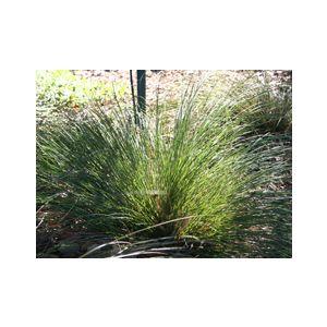 Carex albula