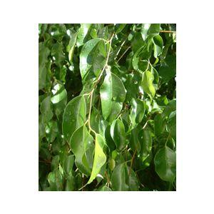 Ficus benjamina Low Branching Column