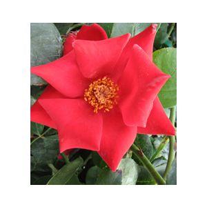 Rosa 'Altissimo' Climbing