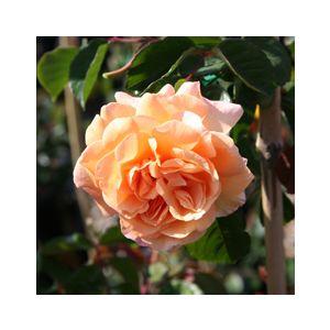 """Rosa 'Buff Beauty' 36"""" Patio Tree"""