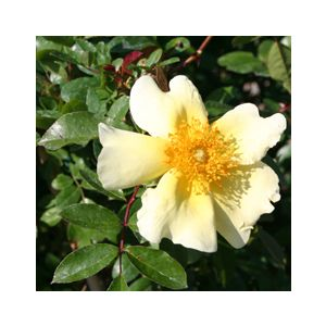 Rosa 'Mermaid' Climbing
