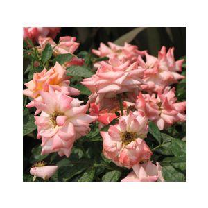 """Rosa 'Bill Warriner' 36"""" Patio Tree"""