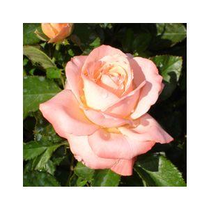 Rosa 'Bill Warriner'