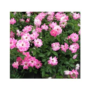 "Rosa 'Brilliant Pink Iceberg' 24"" Patio Tree"