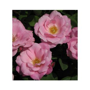 "Rosa 'Brilliant Pink Iceberg' 36"" Patio Tree"