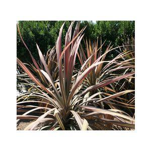 Cordyline australis 'Pink Stripe' (Dracaena a.)