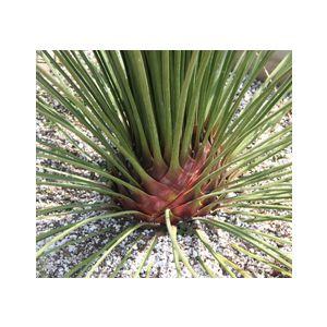 Dasylirion longissimum (D. quadrangulatum)(D. longissima)