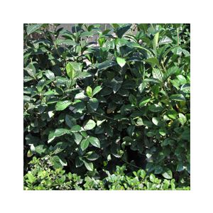 Gardenia jasminoides 'Aimee' ('First Love')('Amy Yoshida')(G. augusta)