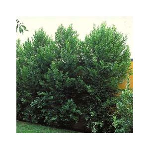 Prunus caroliniana 'Bright 'n Tight' Standard ('Compacta')