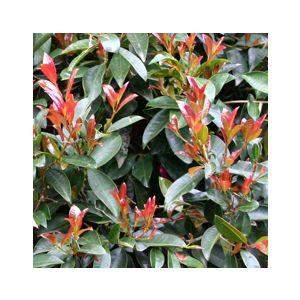 Syzygium paniculatum 'Monterey Bay' 2-Ball Poodle - Monrovia
