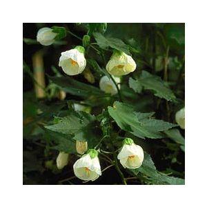 Abutilon 'Assorted Varieties'
