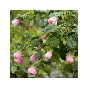 Abutilon 'Assorted Varieties' Patio Tree - Monrovia