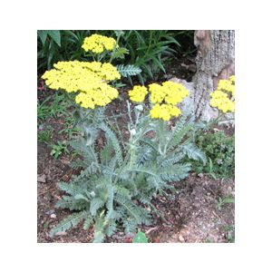 Achillea 'Assorted Varieties'
