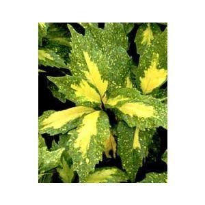 Aucuba japonica 'Picturata' ('Aureo-maculata')