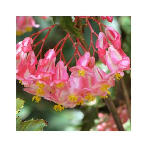 Begonia 'Irene Nuss'