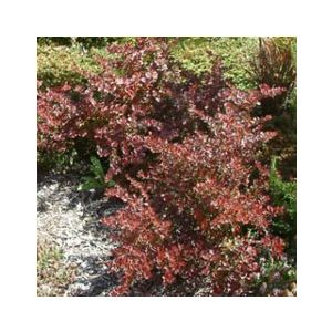 Berberis thunbergii 'Crimson Pygmy' ('Atropurpurea Nana')
