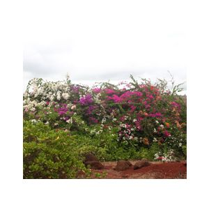 Bougainvillea 'Assorted Staked Varieties'