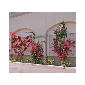 Bougainvillea 'Assorted Varieties' Espalier
