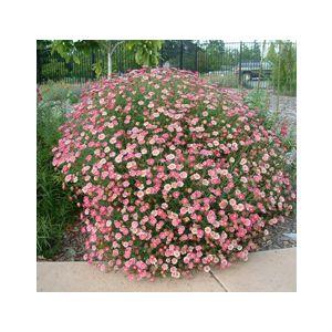 Chrysanthemum frutescens 'Pink Assorted Varieties' (Argyranthemum f.)