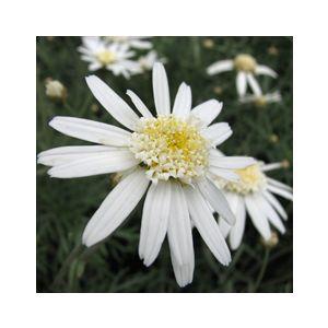 Chrysanthemum frutescens 'Silver Lady' (Argyranthemum f.)