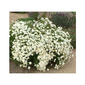 Chrysanthemum frutescens 'White Assorted Varieties' (Argyranthemum f.)