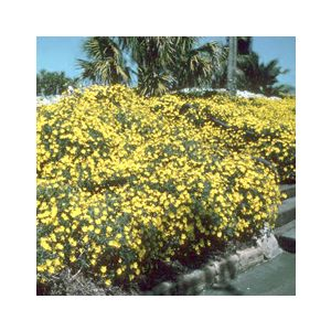 Chrysanthemum frutescens 'Yellow Assorted Varieties' (Argyranthemum f.)