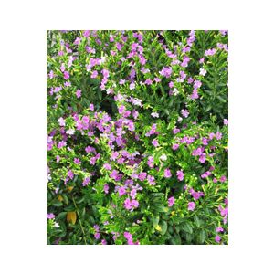 Cuphea hyssopifolia 'Rosea'