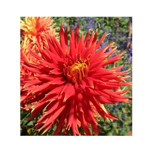 Dahlia 'Assorted Large Flowering Varieties'