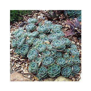 Echeveria 'Imbricata' (E. x imbricata)